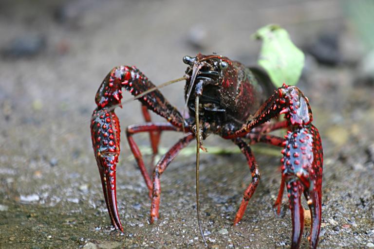 Procambarus_clarkii