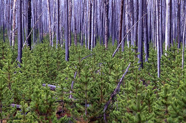 640px-Lodgepole_pine_Yellowstone_1998_near_firehole