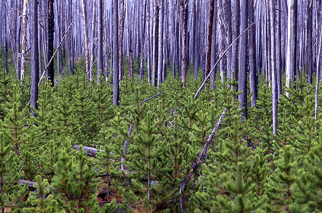 640px-Lodgepole_pine_Yellowstone_1998_near_firehole